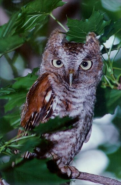 owl.jpg (224885 bytes)