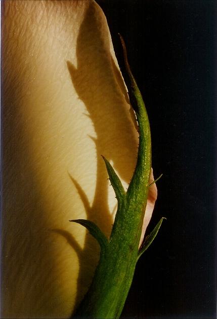 rosepetel.jpg (173871 bytes)